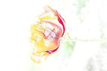 Überbelichtet 1 Mohnblüte