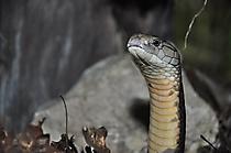 Königskobra02