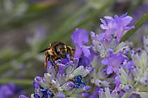 Kleine Biene auf Lavendel