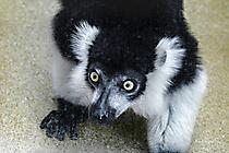 Köln Zoo - schwarz-weiß Vari