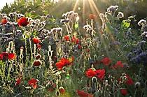 43 Peter Wasser - Blumen im Morgenlicht 1