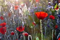 44 Peter Wasser - Blumen im Morgenlicht 2